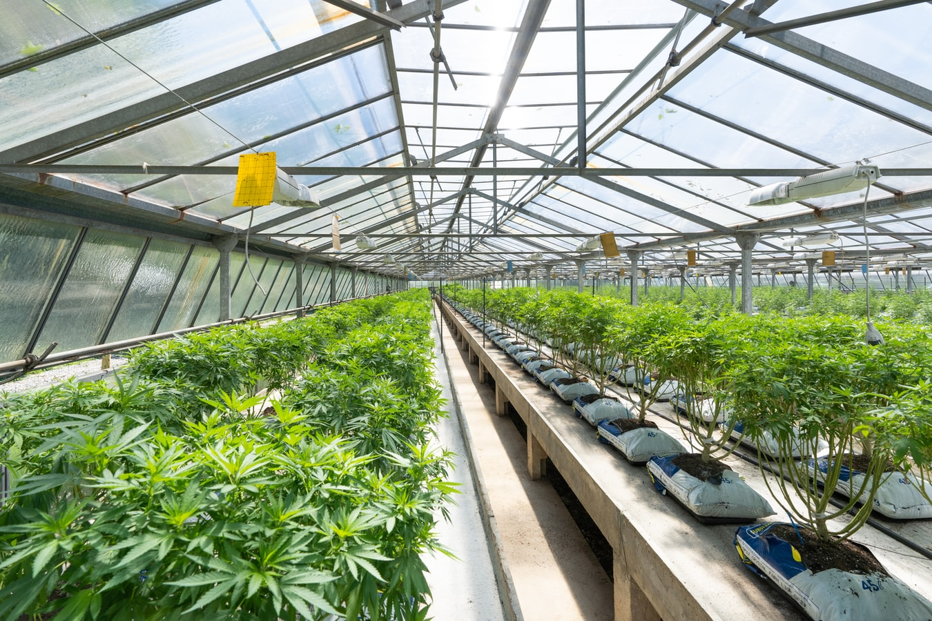 Cannabis Industry Prospects Brighten; Risks, Challenges Remain