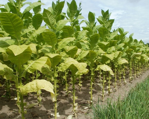 17 Tobacco Farmers Settle Civil Claims In Widespread Crop Insurance Fraud Investigation